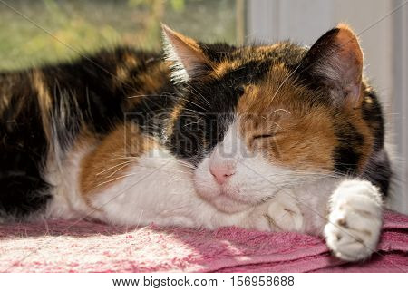 Calico cat asleep in front of a sunny window