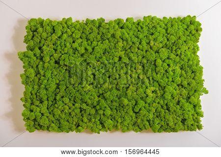 Reindeer Moss Wall, Green Wall Decoration, Lichen Cladonia Rangiferina
