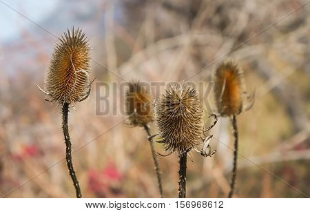Dry thistle in the field defies the autumn and the coming winter