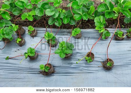 Strawberries growing in plots to cultivate. Beautiful fresh green leaves