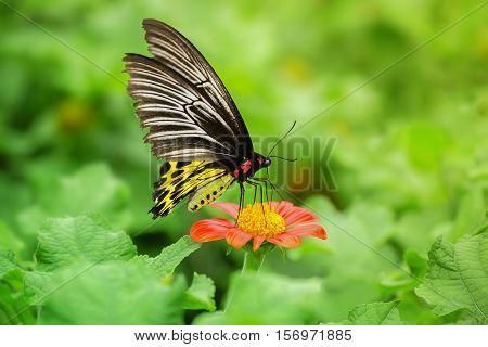 Butterfly on orange flower ( The Golden Birdwing )