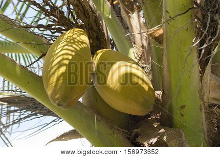 Closeup of two yellow husk coconuts hanging on Cocos nucifera palm tree outdoors in natural environment