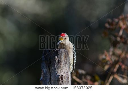 Golden-fronted woodpecker on top of dead tree looking for suet and bugs.