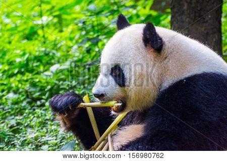 Giant Panda Bear (ailuropoda Melanoleuca) Eating Bamboo