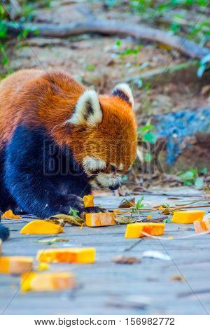 Red Panda (ailurus Fulgens) Eating Pumpkins