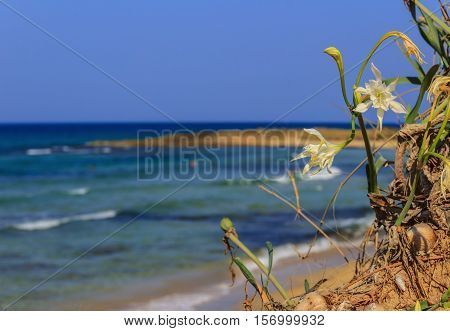 Summer landscape.Torre Guaceto Nature Reserve: Pancratium maritimum, or sea daffodil. BRINDISI (Apulia)-ITALY-Mediterranean maquis: a nature sanctuary between the land and the sea.