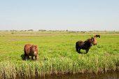 Brown horses in summer landscape with Dutch meadows poster