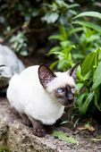 Seal point siamese cat in the garden poster