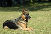 A beautiful obedient German Shepherd dog lying on the grass with an alert expression in the face watching other dogs in the park poster
