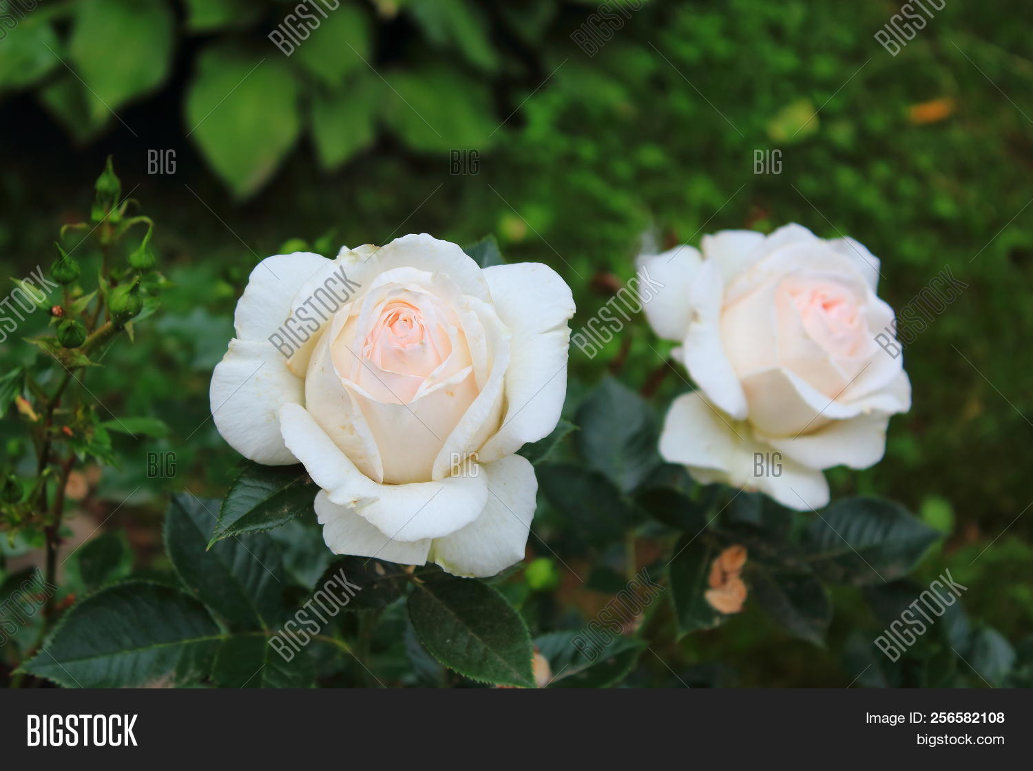 Two Beautiful White Image Photo Free Trial Bigstock