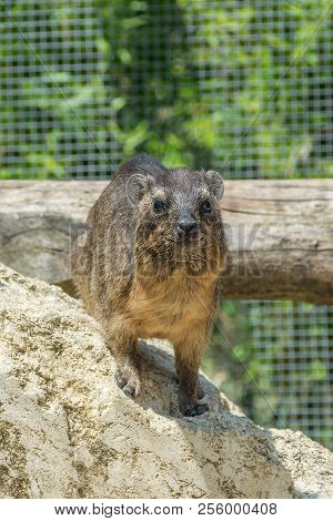 The Rock Hyrax Procavia Capensis, Also Called Rock Badger, Rock Rabbit, And Cape Hyrax Standing On A