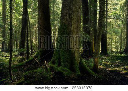Forest nature. Deep forest nature landscape. Mountain forest nature. Ancinet forest nature. Nature. Landscape. Forest background..