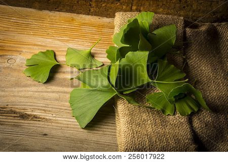 The Background With Fresh Green Ginkgo Biloba Leaves