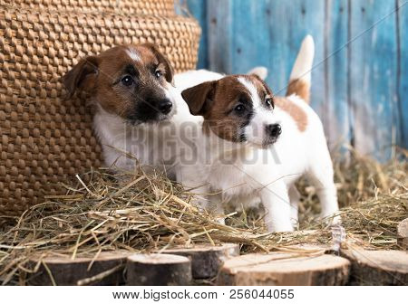 Puppy breed  tvo Jack Russell Terrier portrait dogs