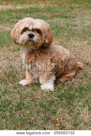 Lhasa Apso Dog Sitting In The Grass Of A Garden