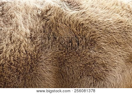 Brown Bison Skin During Molting, Close-up Of An Ungulate Animal