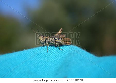 grasshopper on blue cloth