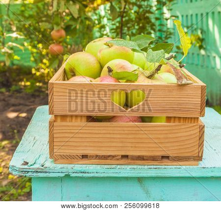 Apples Harvest In A Box On A Stool In The Garden