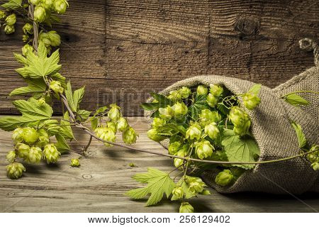 Hop Plant With Cones On An Old Table Close Up