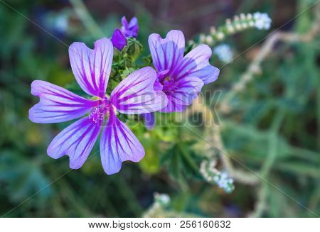 Beautiful Purple Flowers In Spring For Backgrounds.