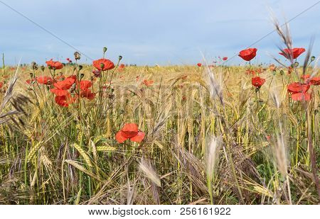 Field Of Poppies In Spring On Blue Sky