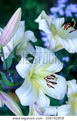 Inflorescence Of White Lily Flowers With Green Leaves Grow In The Garden In Early Summer, White Lili