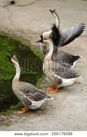 Chinese Domestic Geese On The Farm. Photography Of Nature And Wildlife.