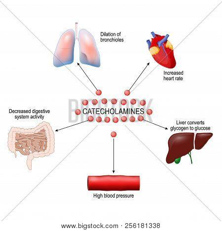 Stress Response System Activation. Catecholamine: Adrenaline, Dopamine, Norepinephrine. Human Anatom