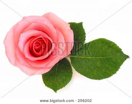 Geïsoleerde roze roos met groen blad