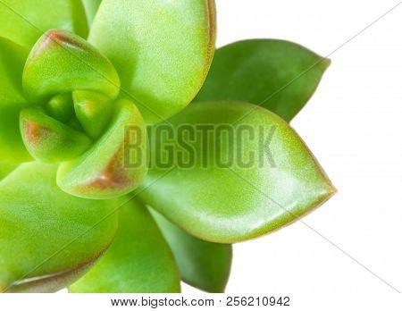 Succulent Plant Stonecrop, Fresh Leaves Detail Of Sedum Lucidum