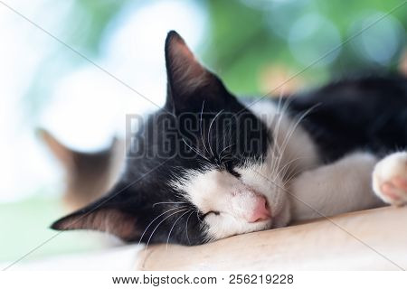 Black and white cat is sleeping, bicolor cat poster