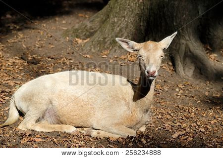 Full Body Of Relax Fallow Deer (dama, Dama) In The Forest. Photography Of Nature And Wildlife.