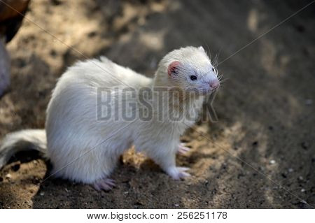 Full Body Of Domestic Beige Male Ferret. Photography Of Nature And Wildlife.