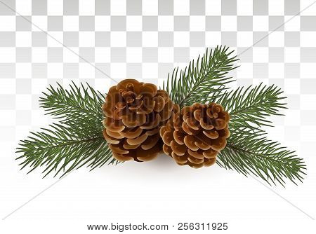 A Simple Rural Christmas Composition - Branches Of A Christmas Tree / Cedar And Cones. Isolated. Vec
