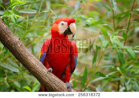 Red-and-green Macaw Ara Chloroptera. Face Of The Scarlet Macaw Is A Large Red, Yellow, And Blue Sout
