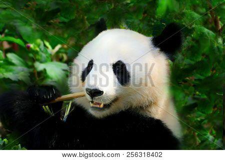 Giant Panda Close-up. Panda Eating Shoots Of Bamboo. Photo From Animal World. Rare And Endangered Bl