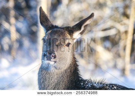 Graceful Adult Female Red Deer In Forest. European Wildlife Landscape With Deer Cervus Elaphus . Por