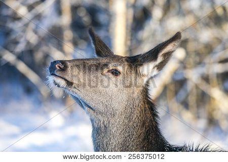 Graceful Adult Female Red Deer. European Wildlife Landscape With Deer Cervus Elaphus . Portrait Of L
