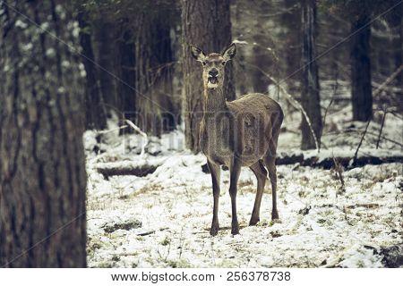 Graceful Adult Female Red Deer On A Snow Hill. European Wildlife Landscape With Deer Cervus Elaphus