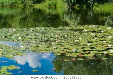 White Water Lilies Bloom In The Pond.