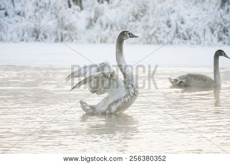 Beautiful White Whooping Swans Swimming In The Winter Lake. The Place Of Wintering Of Swans