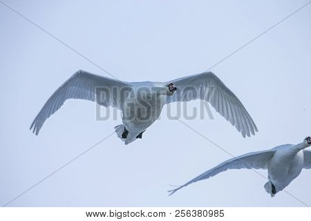 Flying Swan Close Up. White Swan. Nature Background.