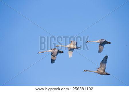 Flying Swans. White Swan. Blue Sky Background.