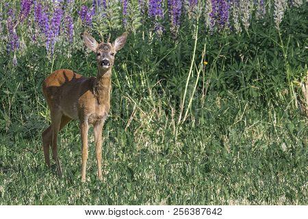 European Roe Deer Capreolus Capreolus On Meadow In Summer Floral Background