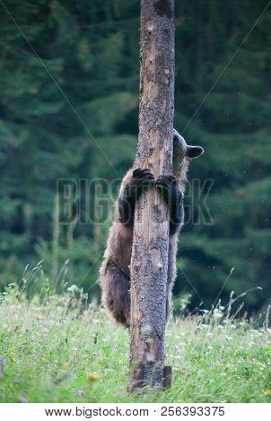 brown bear in its natural habitat climbing a tree