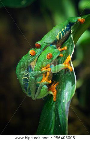 Red-eyed Tree Frog (agalychnis Callidryas), Close Up