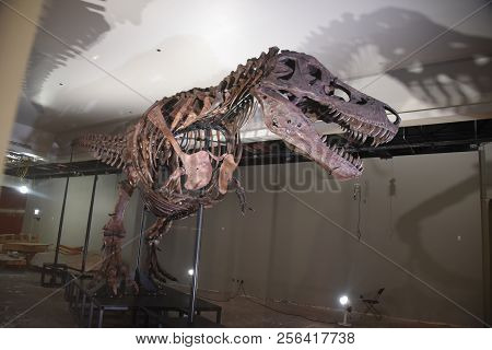 Sue The Most Complete Tyrannosaurus Rex, T Rex Dinosaur Fossil Statue In The World, On Display At Th