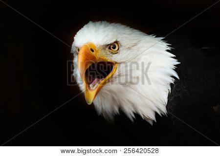 Bald Eagle On The Black Wallpaper. National American Prey Bird. Portrait White-tailed Eagle. America
