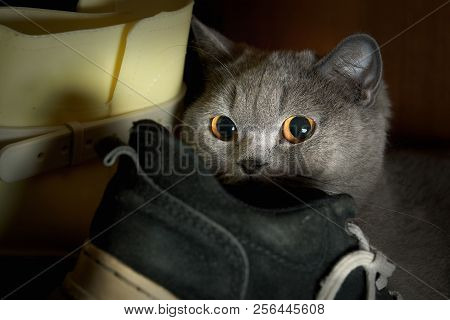 Scared Purebred Cat Hid In The Wardrobe Among The Shoes