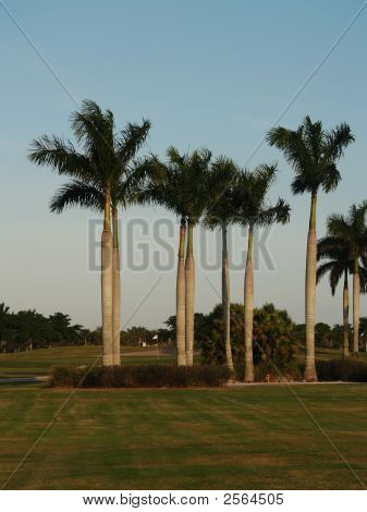 Golf Course Palm Trees